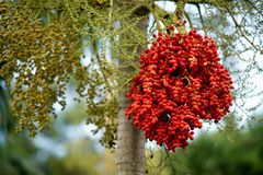 Rote Beeren Lizenzfreie Stockfotos