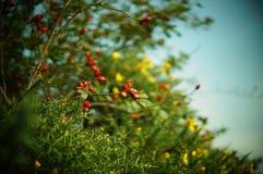Rote Beeren stockbilder
