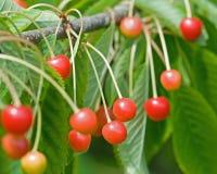 Rote Beeren Stockbild