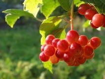 Rote Beeren. Stockfotos