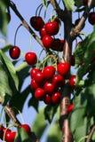 Rote Beeren Lizenzfreies Stockfoto
