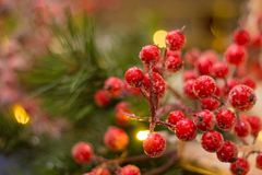 Rote Beeren als Weihnachtsdekoration und grüne Kiefer am hinteren w lizenzfreies stockbild