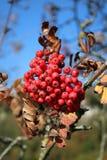 Rote Beeren auf Baum in der Landschaft im Herbst stockfoto