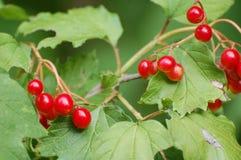 Rote Beeren auf belaubtem Busch Lizenzfreies Stockfoto
