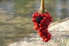 Rote Beeren auf einem Hintergrund eines Stromes Stockbild