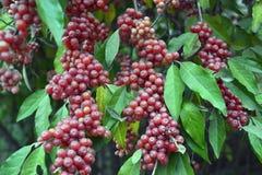 Rote Beeren auf einer Niederlassung mit grünen Blättern stockfotos