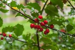 Rote Beeren auf einer Niederlassung mit Regentropfen Reizende Ansicht in den Garten Lizenzfreies Stockbild