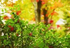 Rote Beeren auf einer Niederlassung mit Regentropfen und bunten Herbstbäumen Reizende Ansicht in den Garten Stockfotografie