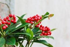 Rote Beeren auf grüner belaubter Anlage Lizenzfreies Stockfoto
