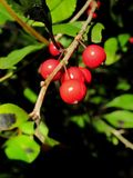 Rote Beeren auf Holly Bush stockbilder