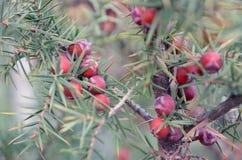 Rote Beeren auf Niederlassungen des immergrünen Wacholderbusches Lizenzfreies Stockbild