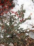 Rote Beeren auf weißem Schnee stockbilder