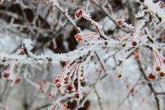 Rote Beeren bedeckt mit Schnee und Eiskristallen Stockfotografie