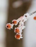 Rote Beeren bedeckt mit Schnee und Eiskristallen Stockbild