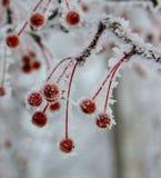 Rote Beeren bedeckt mit Schnee und Eiskristallen Stockfotos
