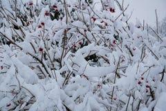 Rote Beeren bepflanzen die Büsche mit Büschen, die mit weißem Schnee und Frost bedeckt werden stockfoto