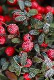 Rote Beeren (Cotoneaster horizontalis) unter Frost Lizenzfreies Stockbild