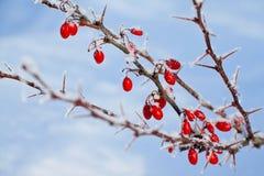 Rote Beeren der Berberitzenbeere bedeckt mit Reif Stockfotografie