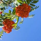 Rote Beeren der Eberesche Lizenzfreie Stockbilder