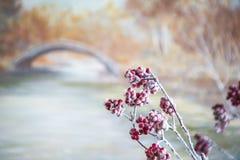 Rote Beeren der Eberesche stockfotos