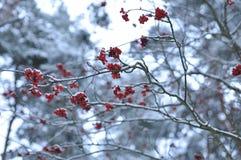 Rote Beeren der Eberesche auf dem Hintergrund von Kiefernbündeln, selektiver Fokus minimalistic einfarbige Landschaft Stockfoto