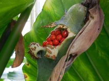 Rote Beeren in der grünen Hülse stockfoto
