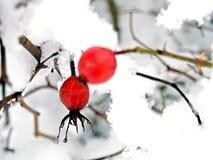 Rote Beeren ein Hintergrund eines Winter langscape Stockbilder