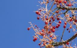 Rote Beeren eines australischen Flammenbaums Lizenzfreie Stockfotos