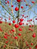Rote Beeren eines Spargels Stockbild