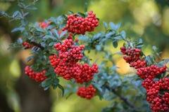 Rote Beeren im Fall Stockfoto