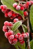 Rote Beeren im Frost Stockbild
