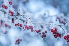Rote Beeren im Hoarfrost Stockbild
