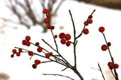 Rote Beeren im Schnee Stockfotos