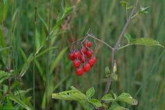 Rote Beeren im Unterholz Stockfotografie