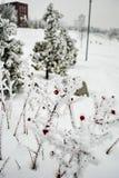 Rote Beeren im Winter auf den Niederlassungen umfasst mit Reif Lizenzfreies Stockbild