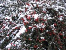 Rote Beeren mit Schnee Stockbilder