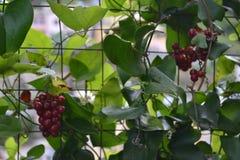 Rote Beeren in Riomaggiore, Italien Stockbilder