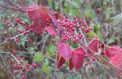 Rote Beeren und Blätter des Herbstes im Wald Stockbilder