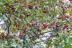 Rote Beeren und Grün-Blätter Stockbilder