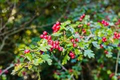 Rote Beeren und Grün-Blätter Stockfotos