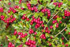 Rote Beeren und Grün-Blätter Lizenzfreie Stockfotografie