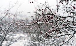 Rote Beeren und Niederlassungen umfasst mit Schnee lizenzfreies stockfoto