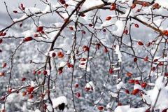 Rote Beeren und Schnee Stockbild