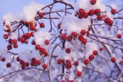 Rote Beeren unter Schnee Stockbilder
