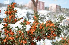 Rote Beeren unter Schnee im Winter Lizenzfreies Stockfoto