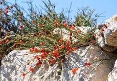 Rote Beeren von Ephedra (Ephedra distachya L.) Lizenzfreie Stockfotos