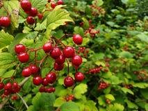 Rote Beeren von ommon Schneeball stockbilder