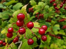 Rote Beeren von ommon Schneeball stockfotografie