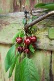 Rote Beeren von organischen Kirschen im alten Garten Stockbilder