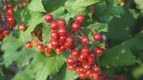 Rote Beeren von Viburnum auf Bush stock video footage